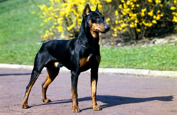 doberman-pinscher-dog