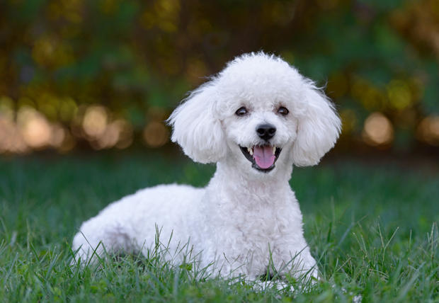 Cute white male poodle puppy